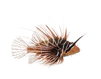 Side view of a Broadbarred firefish, Pterois antennata Royalty Free Stock Photo