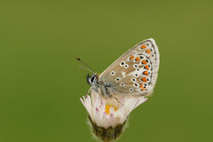 The side view of a Brown Augus Butterfly, Aricia agestis , perched on a daisy flower. Stock Photos