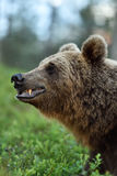 Side view of brown bear face. Brown bear canines Stock Images