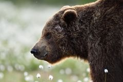 Side view of brown bear face. Royalty Free Stock Image