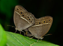 Side view  of  brown butterfly (Mycalesis perseus)breeding  on Stock Photo
