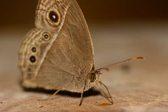 Side view of brown butterfly (Mycalesis perseus) standing and stock photos