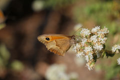 Side view of brown butterfly pollinating white flower Royalty Free Stock Photos