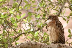 Side view of Brown Fish Owl Royalty Free Stock Photography