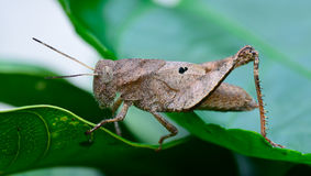 Side view  of brown grasshopper hanging on leaf Royalty Free Stock Photo