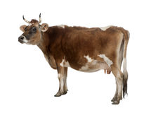 Side view of a brown Jersey cow (10 years old) Stock Photography