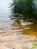 Side view of brown mallard in the river water outside. England; UK Royalty Free Stock Images