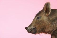 Side View Of Brown Pig Royalty Free Stock Photos