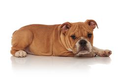 Side view of brown and white english bulldog lying Stock Photos