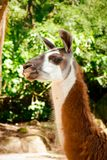 Side-view of a Brown and White Llama