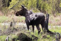 Side view of a bull moose by a swamp royalty free stock images
