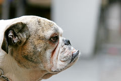 Side view of bulldog Stock Images