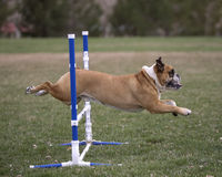 Side view of a bulldog doing an agility jump Stock Images