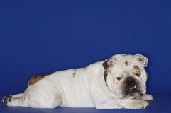 Side View Of Bulldog Lying Down Royalty Free Stock Images