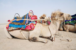Side view of a camel Stock Photo