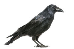 Side view of a Carrion Crow, Corvus corone, isolate. D on white Stock Photo