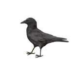 Side view of a Carrion Crow, Corvus corone. Isolated on white Royalty Free Stock Photo