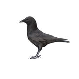 Side view of a Carrion Crow, Corvus corone Stock Photography