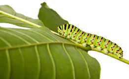 Side view of caterpillar on leaf Royalty Free Stock Photography