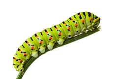 Side view of caterpillar on stem. Macro of butterfly larva climbing on twig isolated on white royalty free stock image