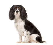 Side view of a Cavalier King Charles sitting Royalty Free Stock Photos
