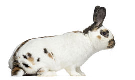Side view of Checkered rabbit Stock Photos
