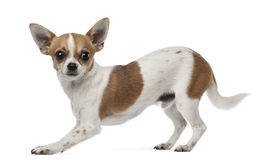 Side view of Chihuahua, 8 months old Stock Images