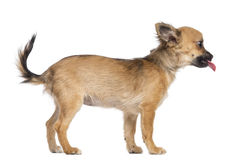 Side view of Chihuahua puppy, 4 months old Royalty Free Stock Image
