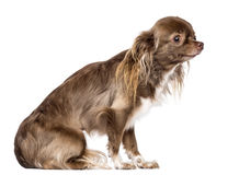 Side view of Chihuahua sitting and looking away Stock Image