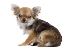 Side view of a Chihuahua sitting, looking at the camera Royalty Free Stock Photography
