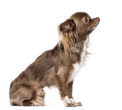 Side view of Chihuahua sitting and looking up Stock Images