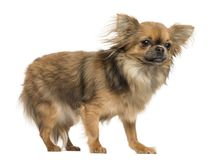 Side view of a Chihuahua standing, 18 months old. Isolated on white stock photography