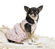 Side view of a Chihuahua wearing a lace dress, isolated Royalty Free Stock Image