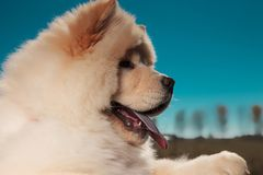 Side view of a  chow chow puppy dog`s furry head royalty free stock image