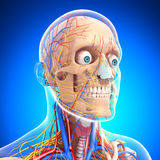 Side view of circulatory and nervous of brain Royalty Free Stock Photo