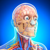 Side view of circulatory system of brain Stock Photo