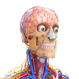 Side view of circulatory system of brain Stock Images