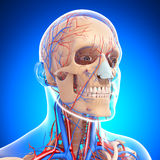 Side view of circulatory system of head skeleton. 3d art illustration of Side view of circulatory system of head skeleton Stock Photography