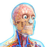 Side view of circulatory system of head skeleton. 3d art illustration of Side view of circulatory system of head skeleton Royalty Free Stock Image