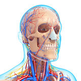 Side view of circulatory system of head skeleton Stock Photography