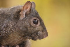 Side view close up of black squirrel. Royalty Free Stock Images