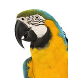 Side view close-up of a Blue-and-yellow Macaw, Ara ararauna, 30 years old. In front of white background stock photography