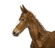 Side view of a close-up of a foal. Isolated on white Stock Images