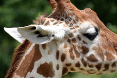 Side view close up of giraffe's head Royalty Free Stock Images