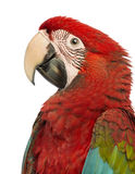 Side view close-up of a Green-winged Macaw, Ara chloropterus, 1 year old. In front of white background stock images