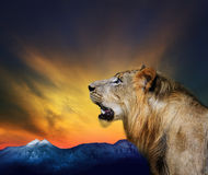 Side view close up head shot of young lion roar against beautifu. L dusky sky and rock mountain use for natural wild life and animals theme royalty free stock images