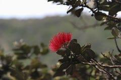 Side view close up of a red Ohia Lehua tree blossom. Big Island, Hawaii Stock Photos