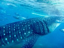 Side view and close-up of a young whale shark. Young whale shark just below the blue turquoise surface of the water Stock Images