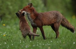 Red fox adult with cub stock photography