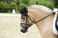 Side view closeup of a beautiful norwegian dressage horse Royalty Free Stock Photo